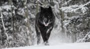 yamnuska-wolf-dog-sanctuary