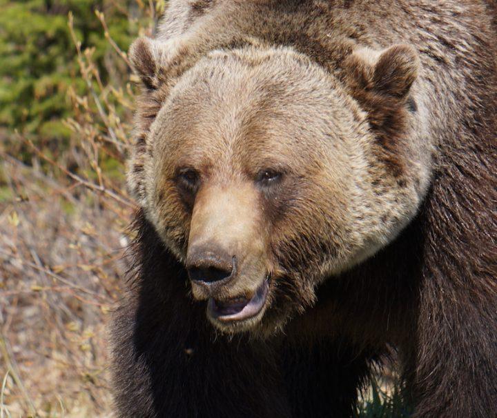 Banff Bears