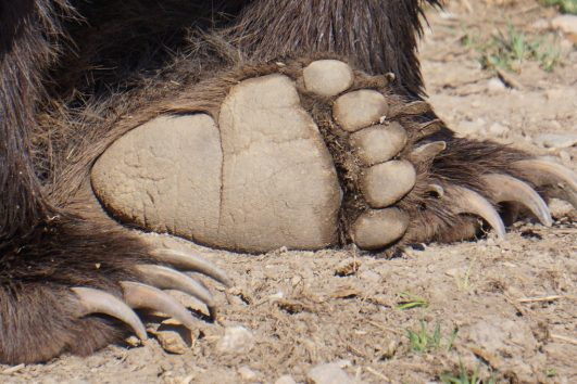 Grizzly Bear Paw