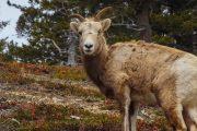 Jasper Wildlife Discovery Tour Sheep