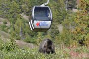Lake Louise Summer Gondola Bear