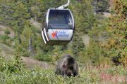 Lake Louise Summer Gondola Bear