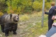 Learn about Boo at the grizzly bear refuge at Kicking Horse Mountain Resort on the Discover Grizzly Bears Tour with Discover Banff Tours