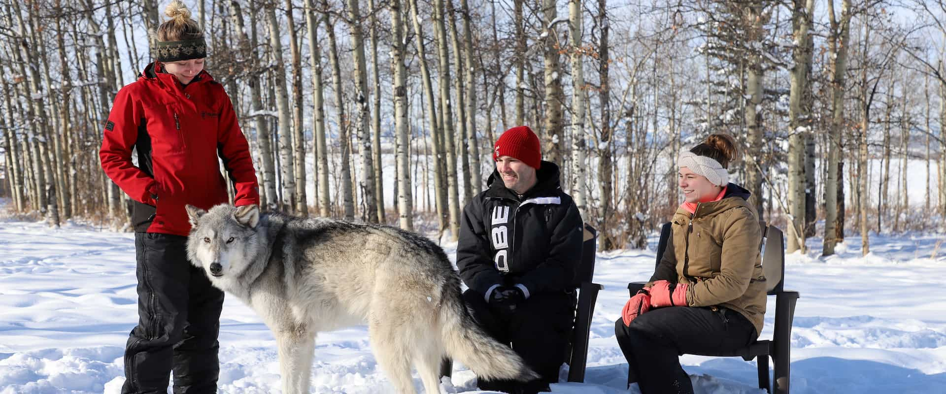 Meet wolfdogs on the interactive tour at the Yamnuska Wolfdog Sanctuary