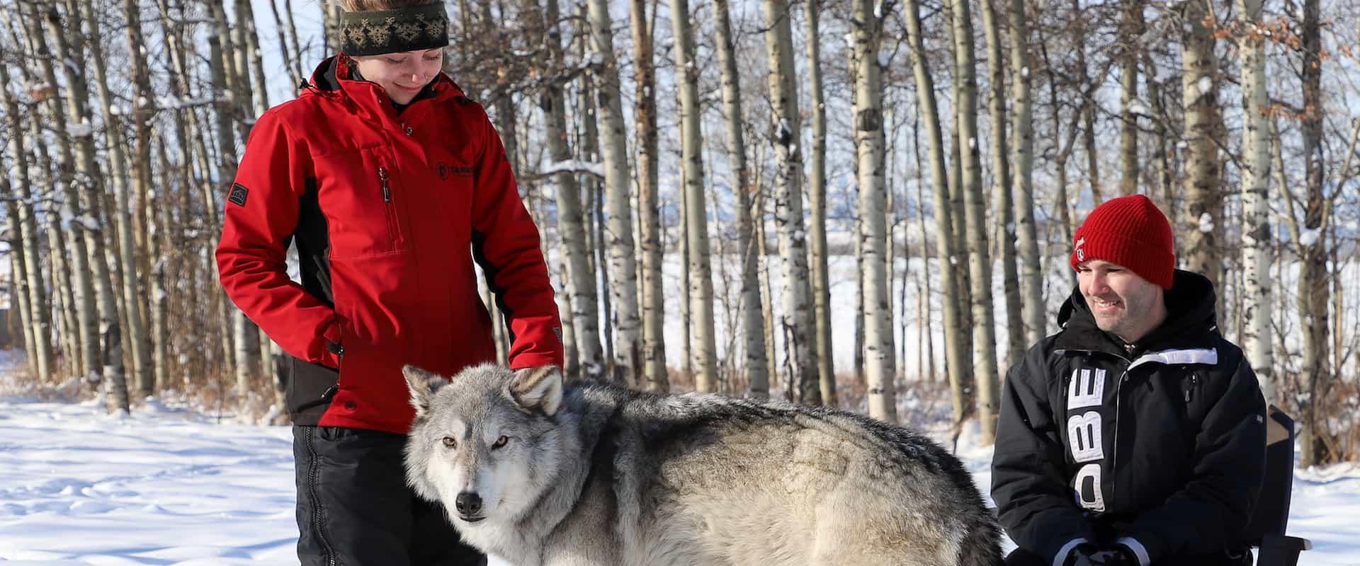 Meet wolfdogs on the interactive tour at the Yamnuska Wolfdog Sanctuary