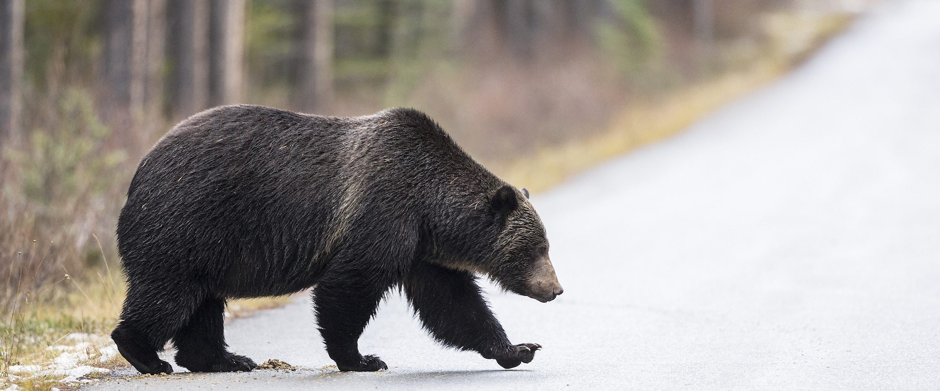 See Bears on the Evening Wildlife Safari Tour with Discover Banff Tours