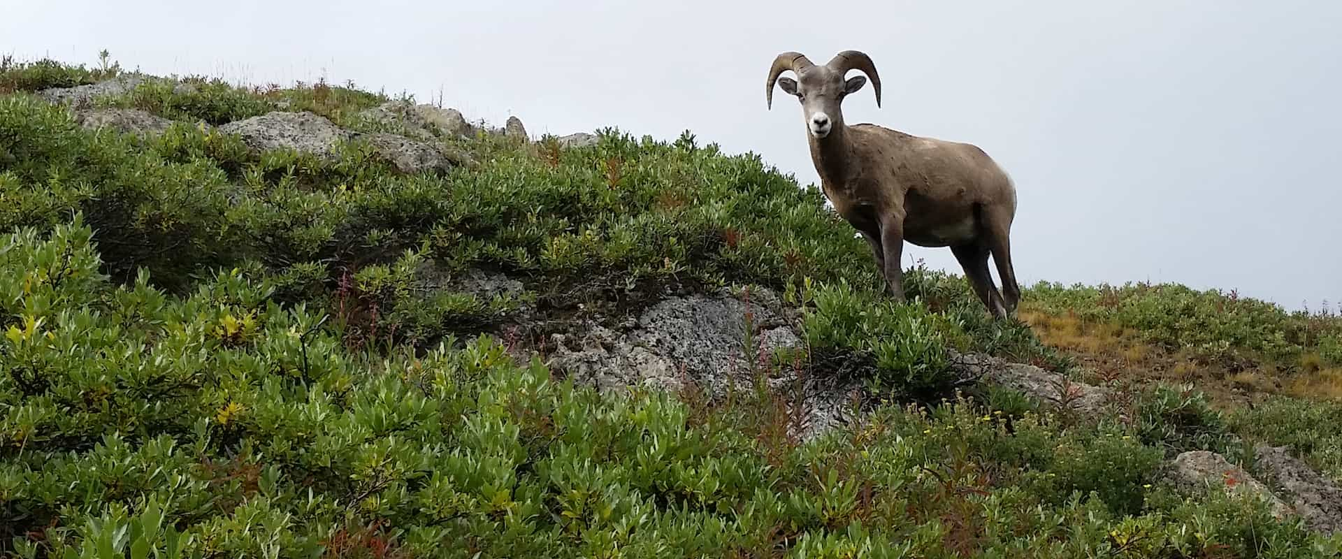 See bighorn sheep on a Banff wildlife tour with Discover Banff Tours