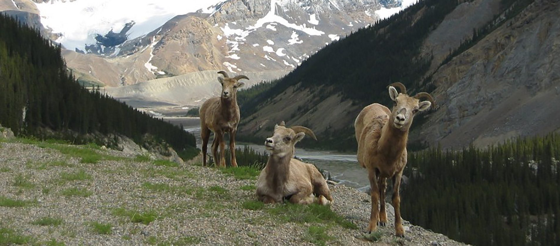 See bighorn sheep on the Evening Wildlife Safari Tour with Discover Banff Tours