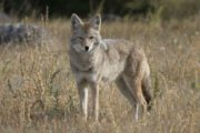 See local wildlife such as coyotes on a wildlife tour with Discover Banff Tours