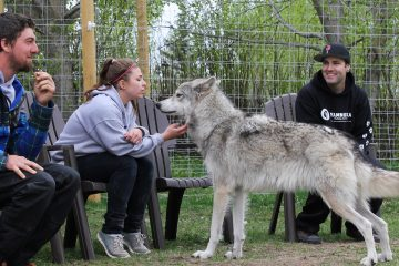 Yamnuska Wolfdog Sanctuary Interactive Tour