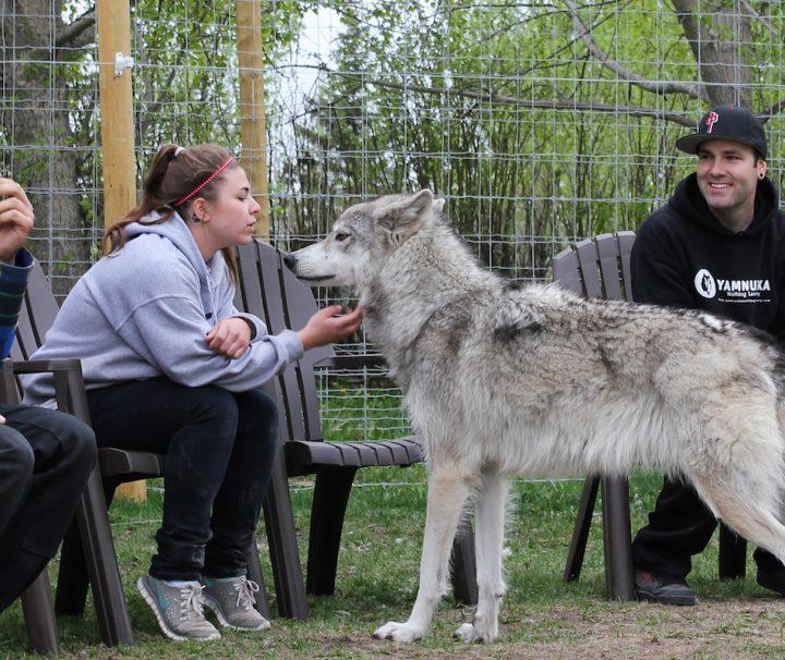 Yamnuska Wolfdog Sanctuary Interactive Tour