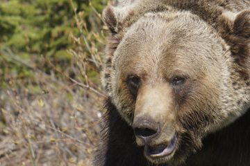 Grizzly Bear Tours, Banff