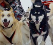 Dogsledding near Banff