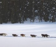 Dogsledding Lake Louise