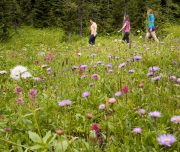Alpine Wildflowers, Sunshine Meadows