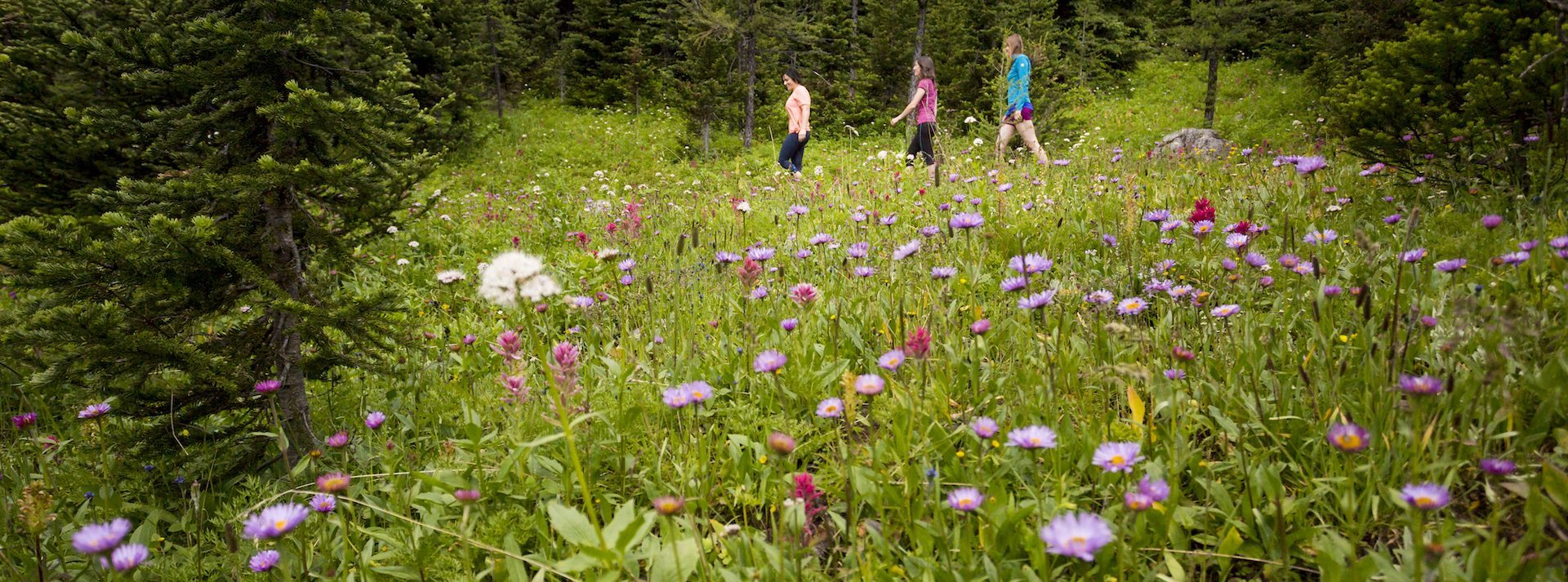 Alpine Wildflowers, Sunshine Meadows