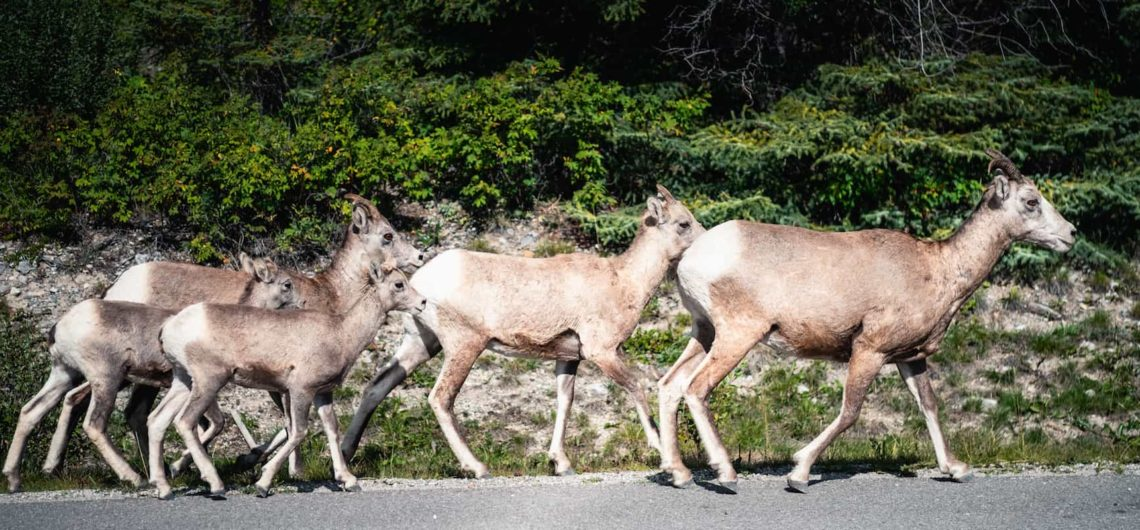 See wildlife such as bighorn sheep on a sightseeing tour