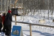 See wolfdogs on a self-guided walk at the Yamnuska Wolfdog Sanctuary
