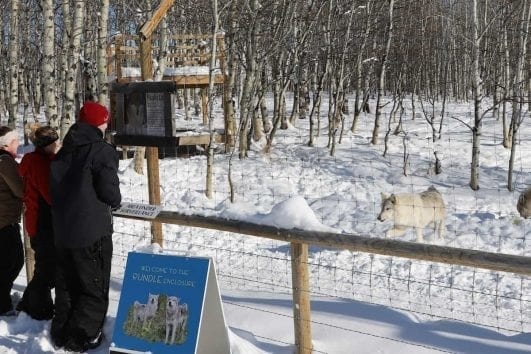 See wolfdogs on a self-guided walk at the Yamnuska Wolfdog Sanctuary