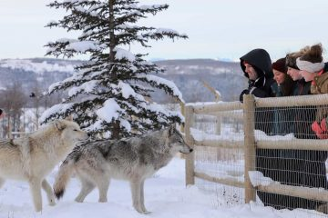 See wolfdogs on the intro tour at the Yamnuska Wolfdog Sanctuary