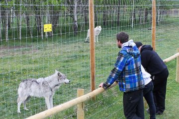 Yamnuska Wolfdog Sanctuary Sanctuary Walk in Cochrane