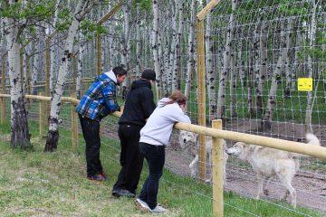 Yamnuska Wolfdog Sanctuary Sanctuary Walk