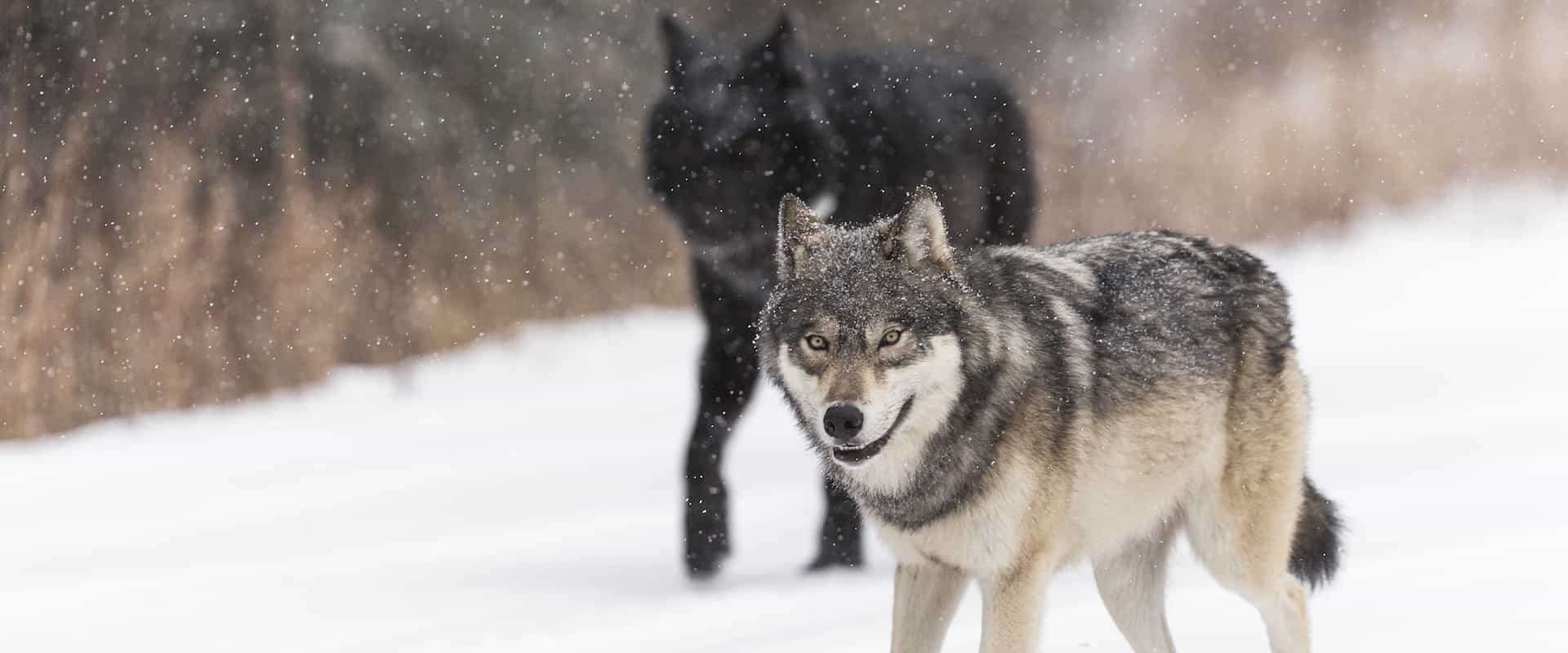 See wolves on a wildlife tour in Banff National Park