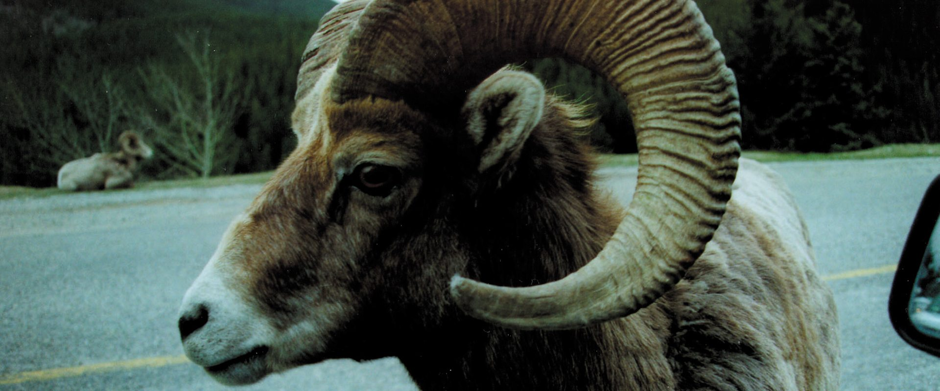 See Bighorn Sheep in Banff with Discover Banff Tours