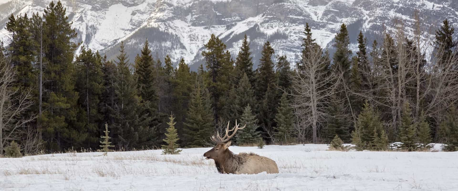 See elk on wildlife tour with Discover Banff Tours