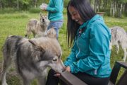 Feed wolfdogs on the interactive tour at the Yamnuska Wolfdog Sanctuary near Banff in the Canadian Rockies