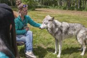 Interactive tour at the Yamnuska Wolfdog Sanctuary near Banff in the Canadian Rockies