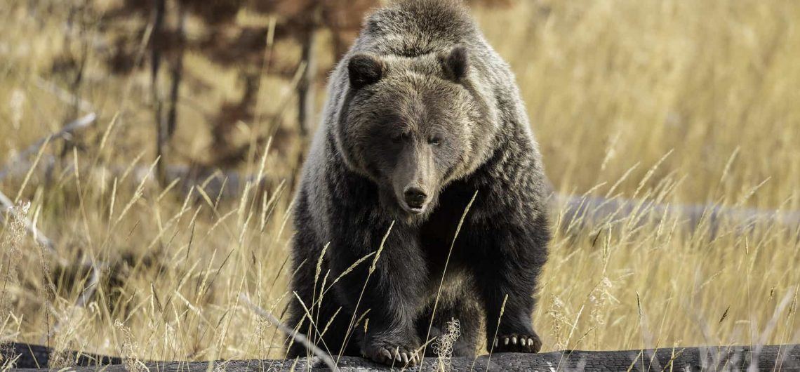 See bears in Banff National Park on a wildlife tour with Discover Banff Tours