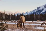 See elk in Banff National Park on the Evening Wildlife Safari with Discover Banff Tours