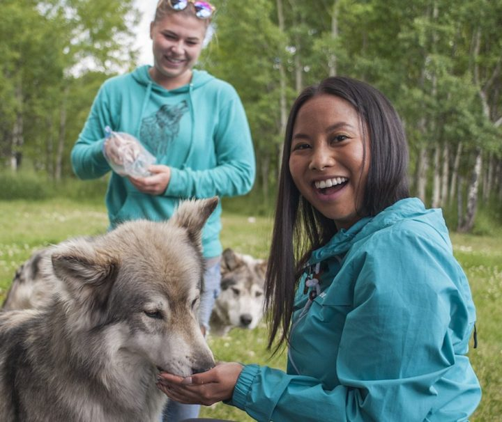 The interactive tour allows you to feed wolfdogs at the Yamnuska Wolfdog Sanctuary near Banff in the Canadian Rockies