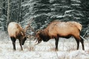 See elk rutting in Banff National Park on a wildlife tour