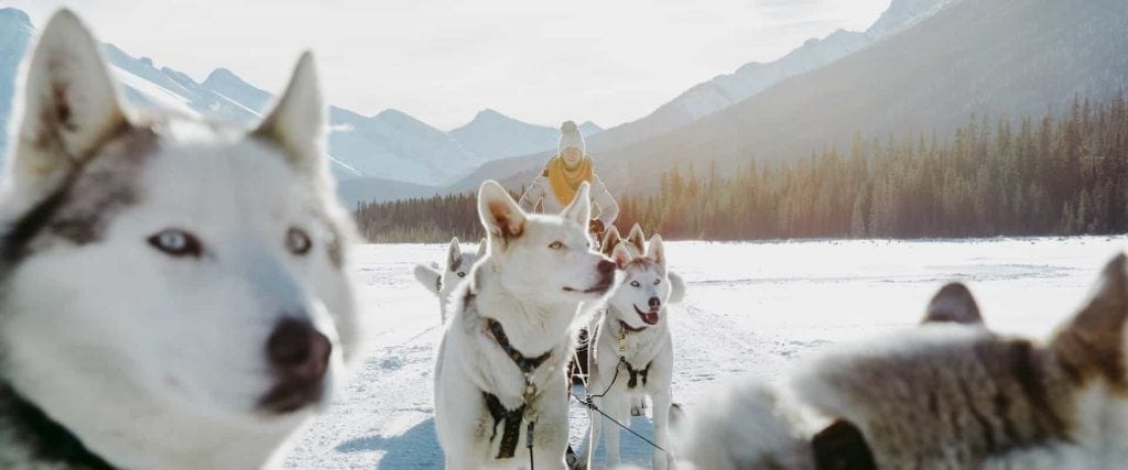 Drive your own sled of dogs on a dogsledding adventure at Spray Lakes