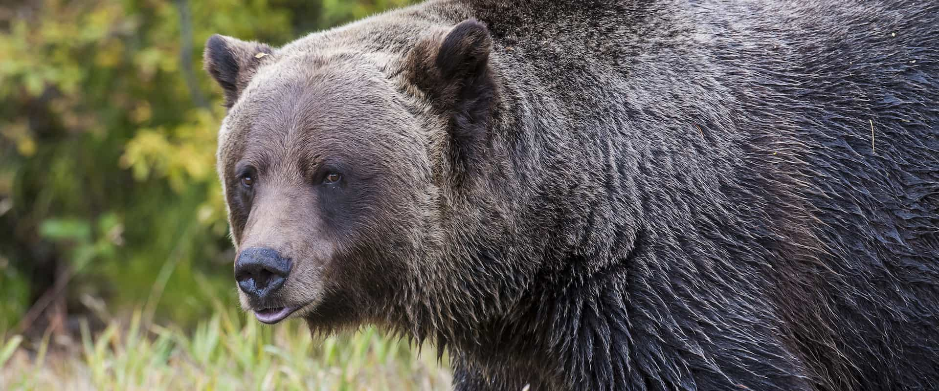 See Boo the grizzly bear right up close on the Discover Grizzly Bears Tour with Discover Banff Tours in the Canadian Rockies