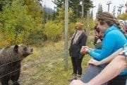 See Boo the grizzly bear up close on the Discover Grizzly Bears Tour with Discover Banff Tours in the Canadian Rockies
