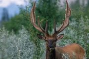 See elk in Jasper National Park on a wildlife tour