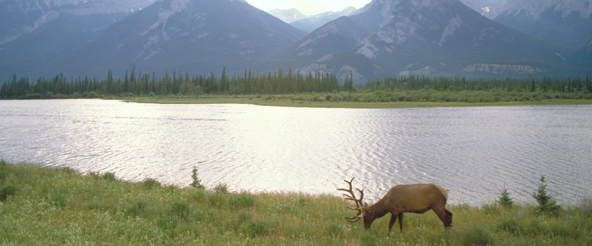 See elk in Jasper National Park on a wildlife tour
