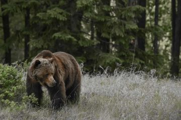 See grizzly bears on a wildlife tour in Jasper National Park