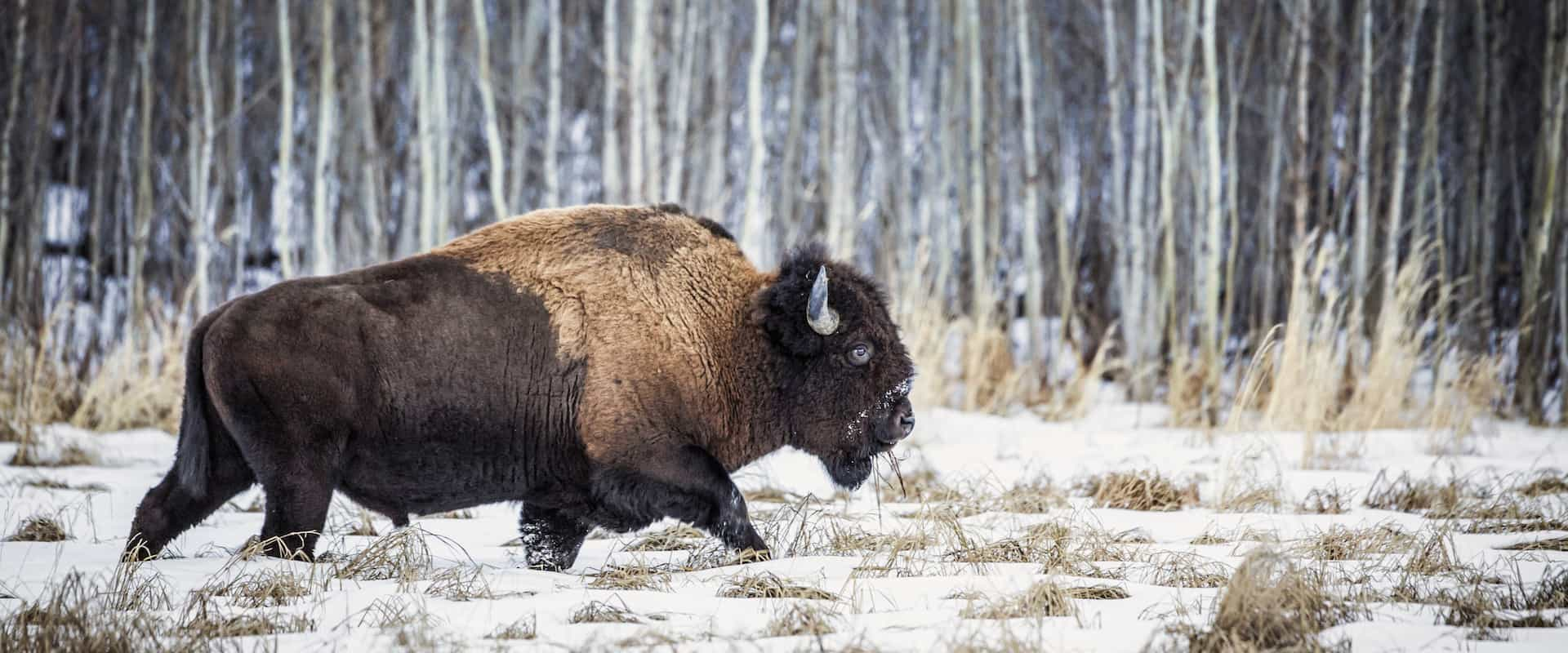 Bison have returned to Banff National Park in the Canadian Rockies