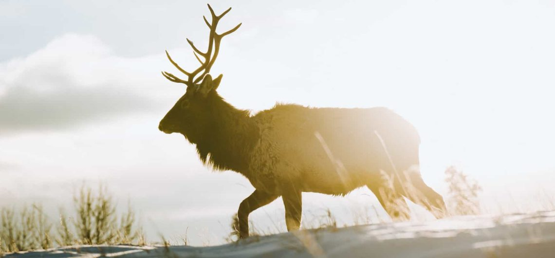 See wildlife such as elk in Banff National Park