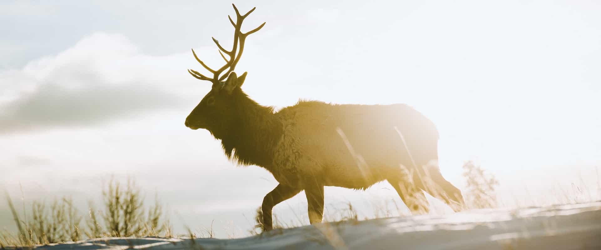 See wildlife such as elk in Banff National Park