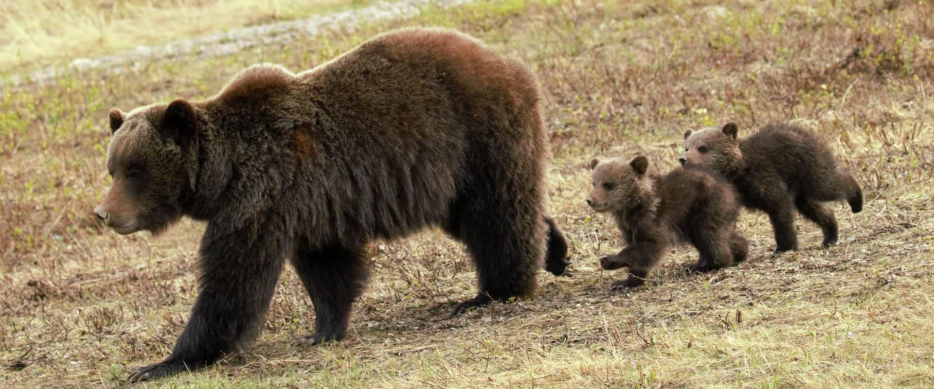 See grizzly bears and wildlife in the Canadian Rockies