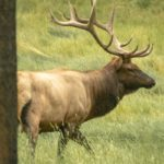 See animals such as elk on a Banff wildlife tour