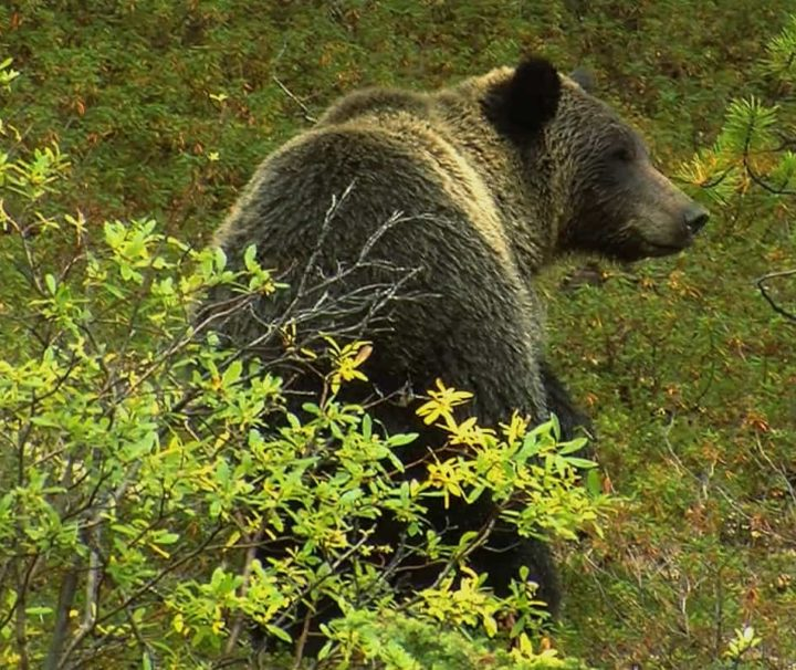 See animals such as grizzly bears on a wildlife tour